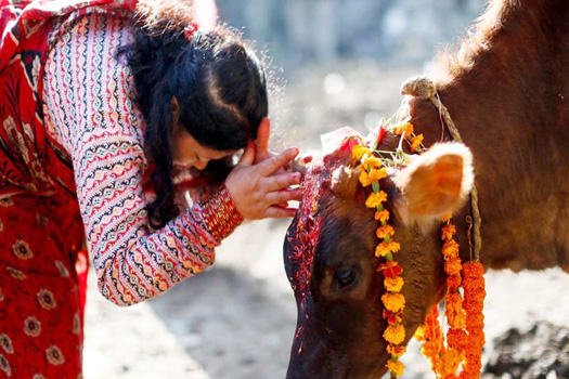 तिहारको चौथो दिन : गाई पूजा गरिँदै